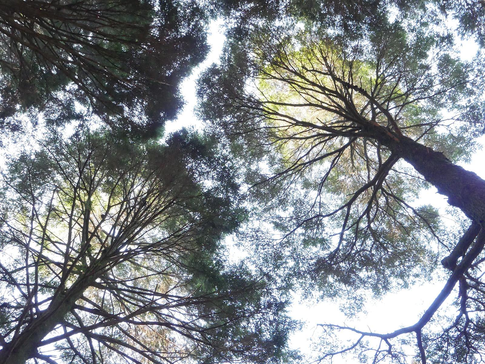 ツガの樹冠