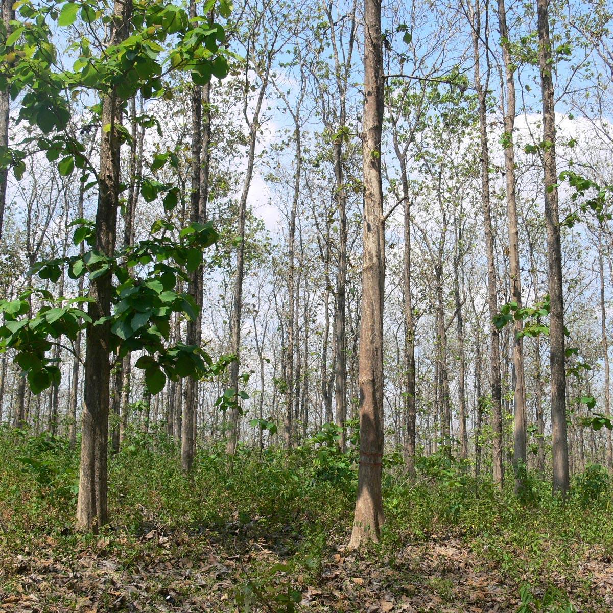 チークの天然林