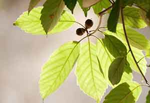 アラカシの葉