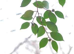 ヤブツバキの葉