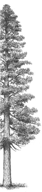 ウエスタンレッドシダーの樹形