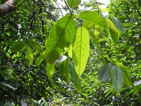 ウリンの葉