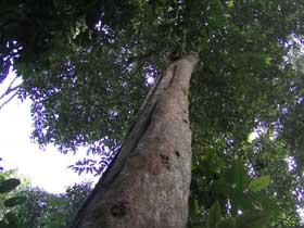 ウリンの立木
